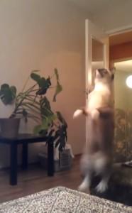 gato saltarin
